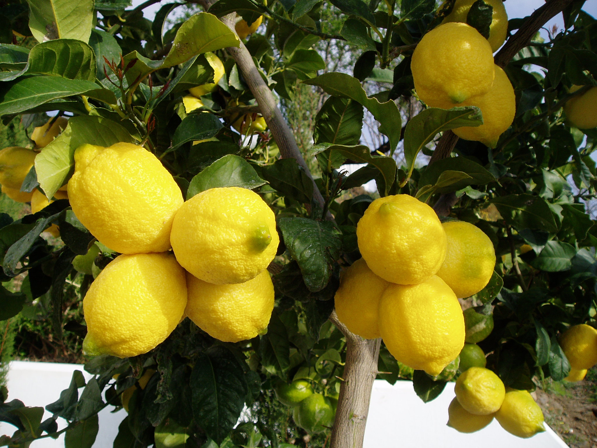 how to make lemon tree bushy
