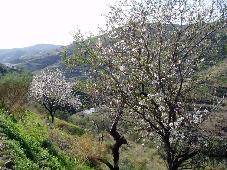 Almond trees in blossom in Andalucía