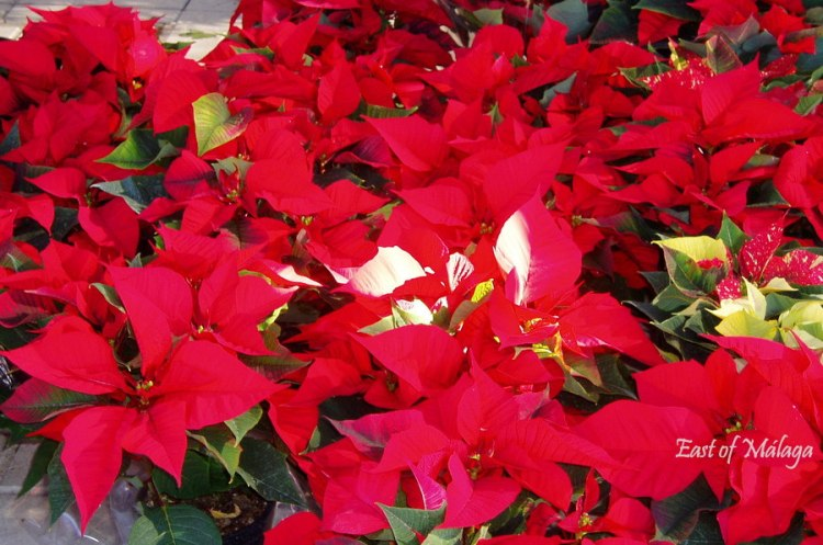 Poinsettias in Spain around Christmastime
