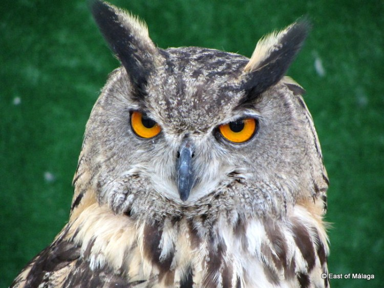 Eagle Owl at medieval market in Torrox pueblo