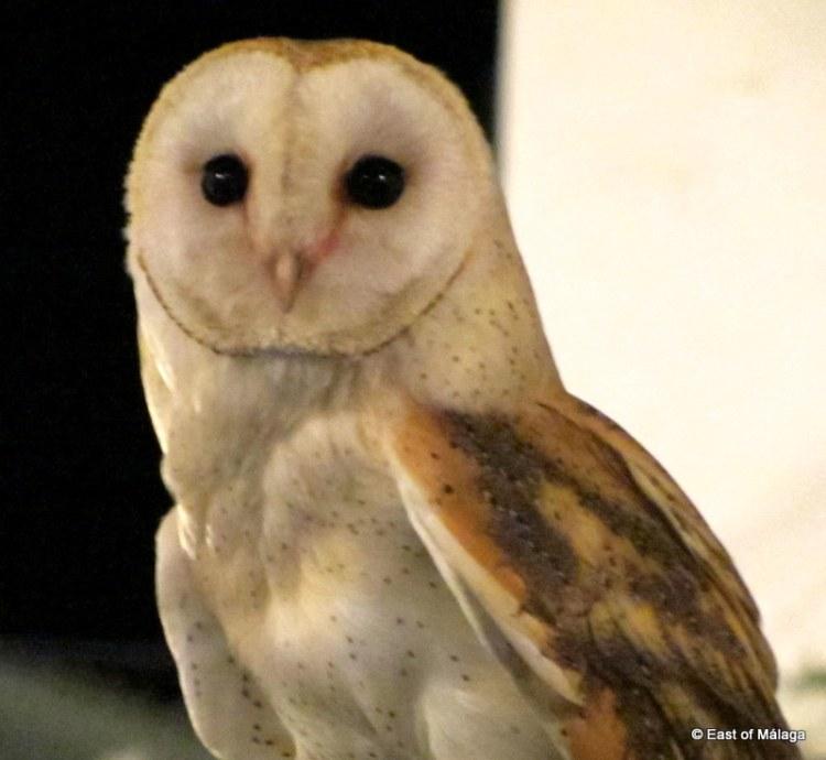 Flying free: Barn owl at medieval market in Torrox pueblo