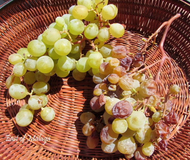 Just-picked grapes from our own vines