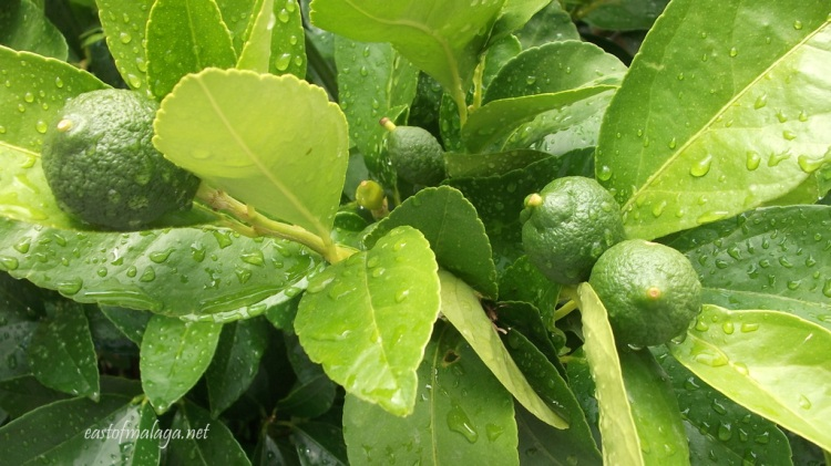 Baby lemons growing on the tree after the rain