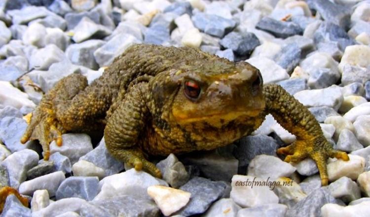 Garden toad, Spain