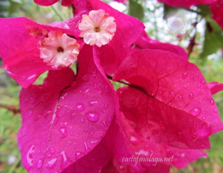 Raindrops on bougainvillea