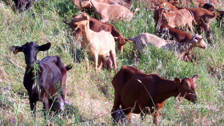 Goats on the hillside outside Cómpeta, Andalucía, Spain