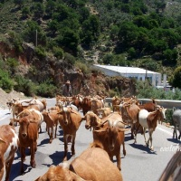 Goats on the road: I kid you not