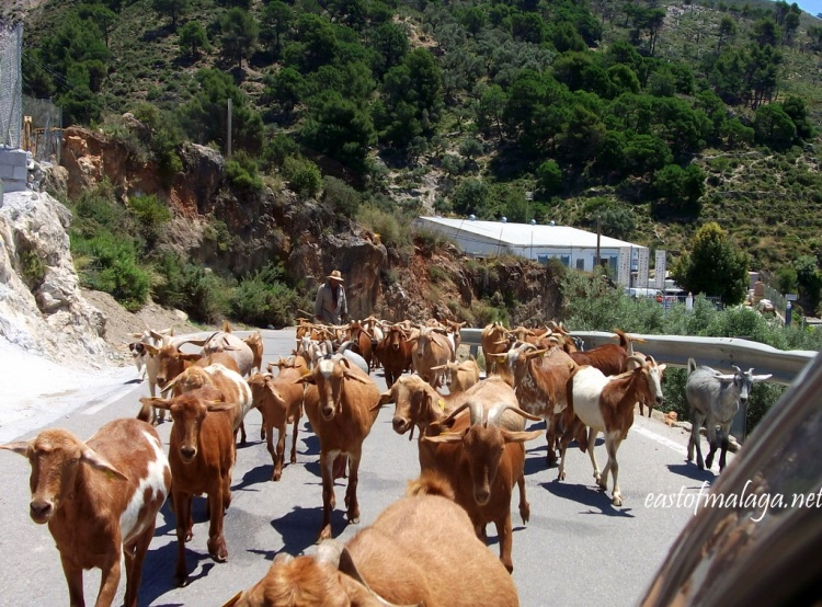 Goats on the road to Cómpeta, Andalucía, Spain