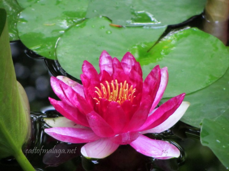 Lily pond at Jardin Concepcion, Malaga
