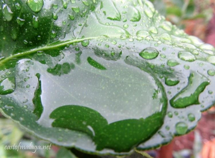 Raindrops pooling on a lime tree leaf
