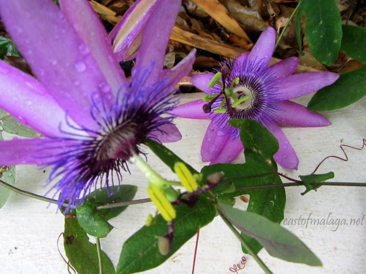 Raindrops on puple passionflowers