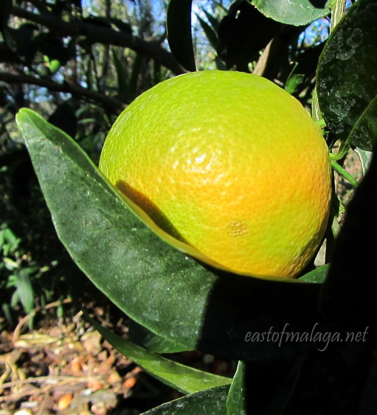 Oranges almost ripe Oct 31st, southern Spain