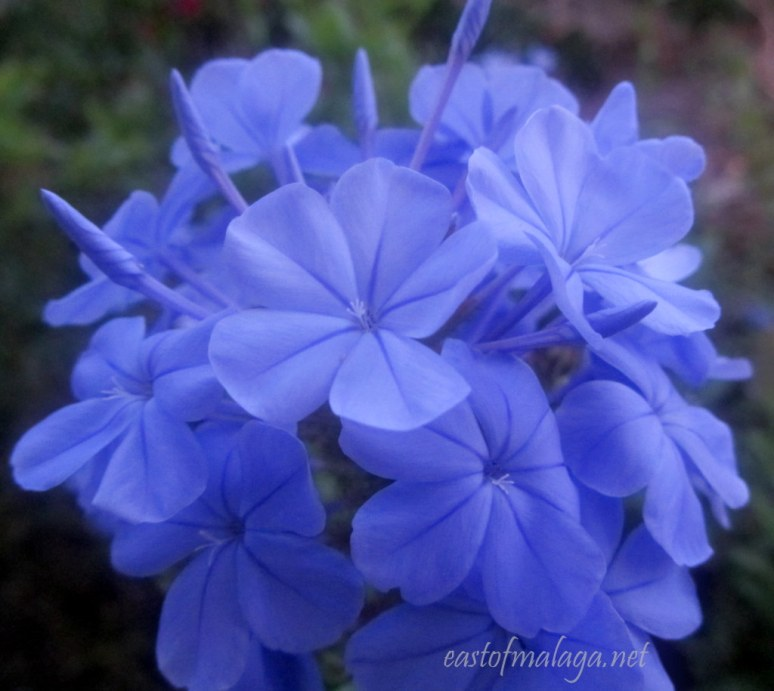 plumbago in low light
