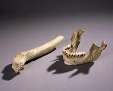 Mandible and femur from Zafarraya