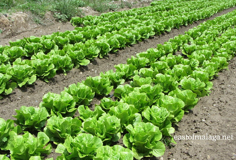 Lettuces growing at Zafarraya, Spain