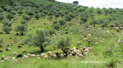 Goats on the hillside near Zafarraya