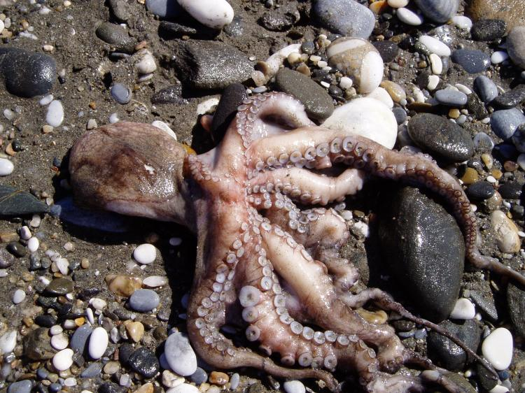 Octopus washed up on the sea-shore