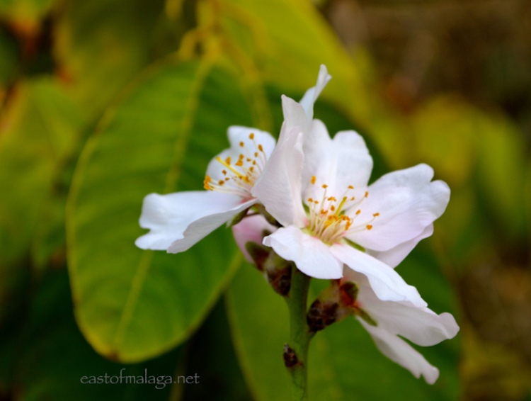 First almond blossom in Andalucia, 2014
