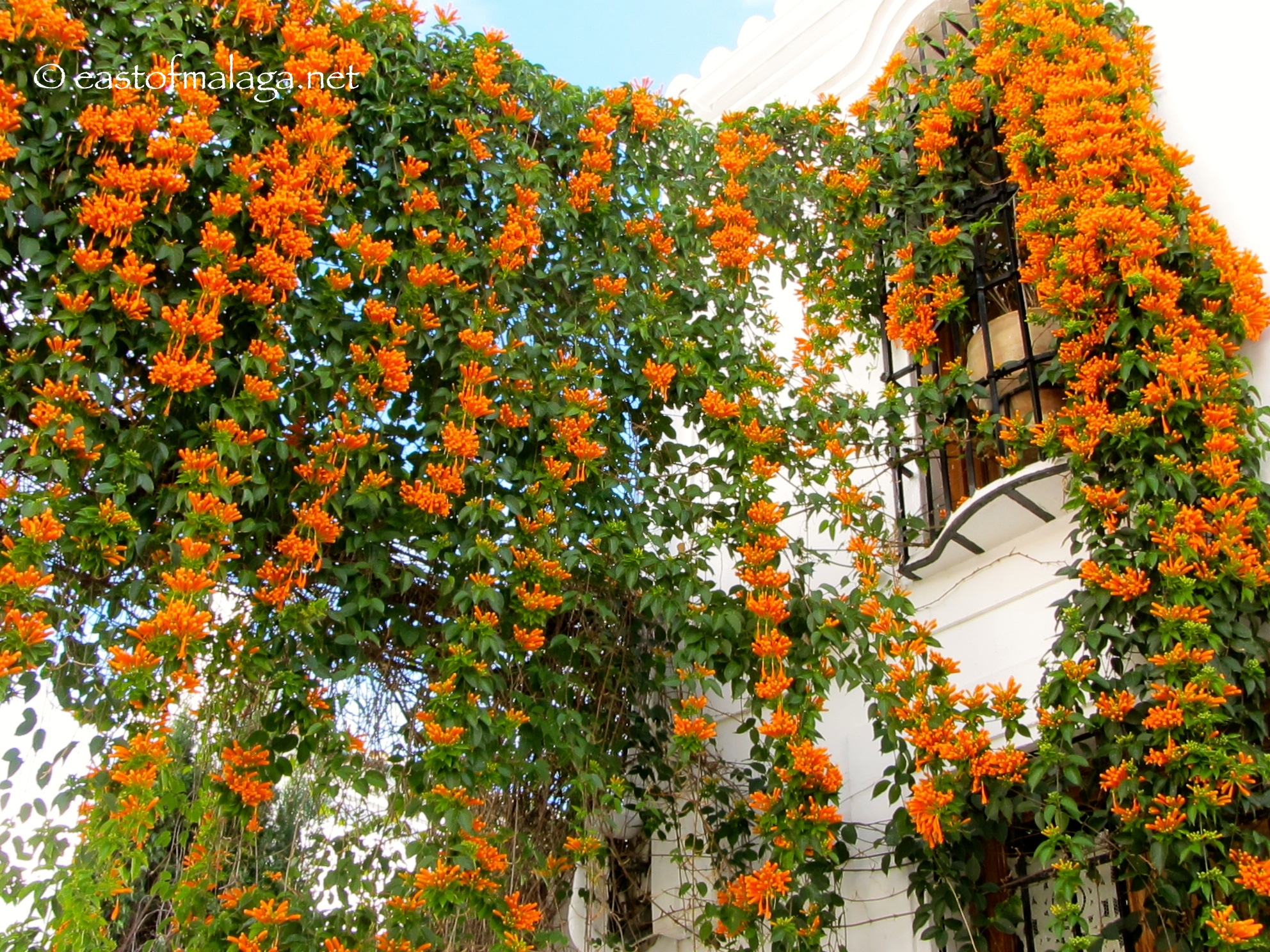 PYROSTEGIA VENUSTA (Orange trumpet vine) | East of Málaga