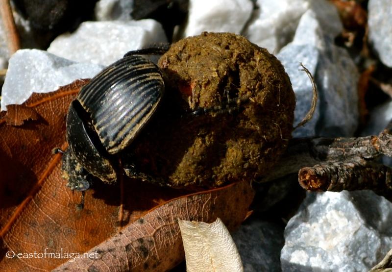 Dung beetle, Spain
