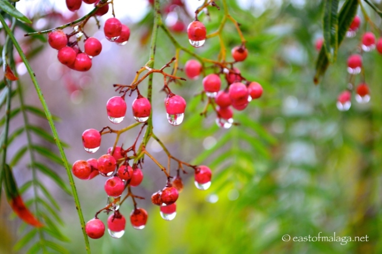 Raindrops on a pepper tree