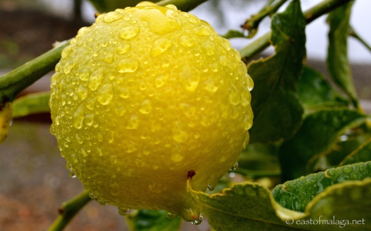 Raindrops on lemon