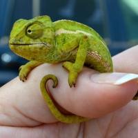 Wordless Wednesday: Chameleon