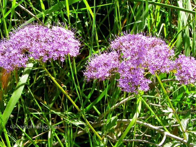 Flowers near the River Chillar, Nerja