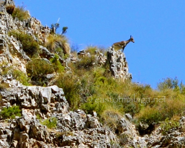 Mountain goat near Canillas de Aceituno