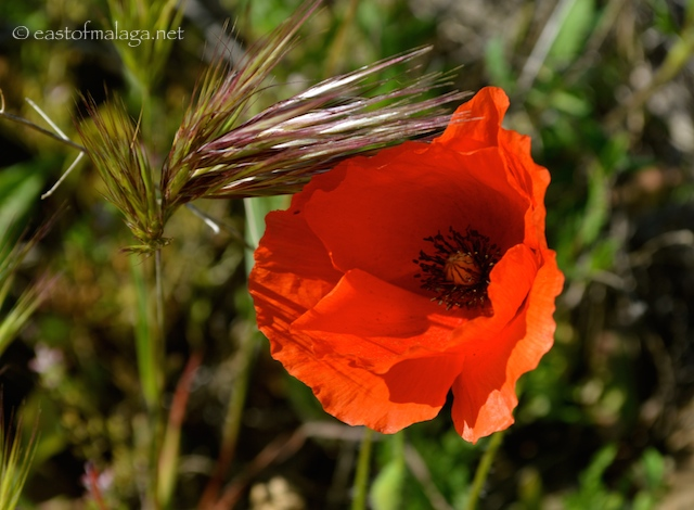 wild poppies in Andalucia