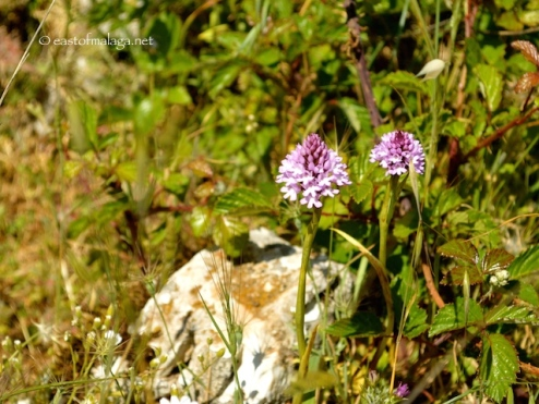 Wild orchids at El Torcal