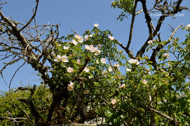 Wild roses at El Torcal