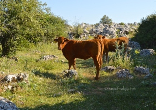 Cattle at El Torcal, Antequera