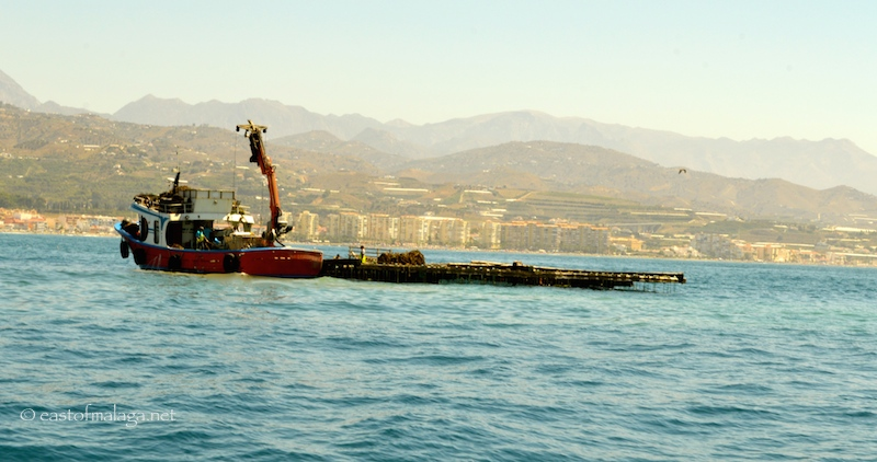 Harvesting the mussel beds off Caleta