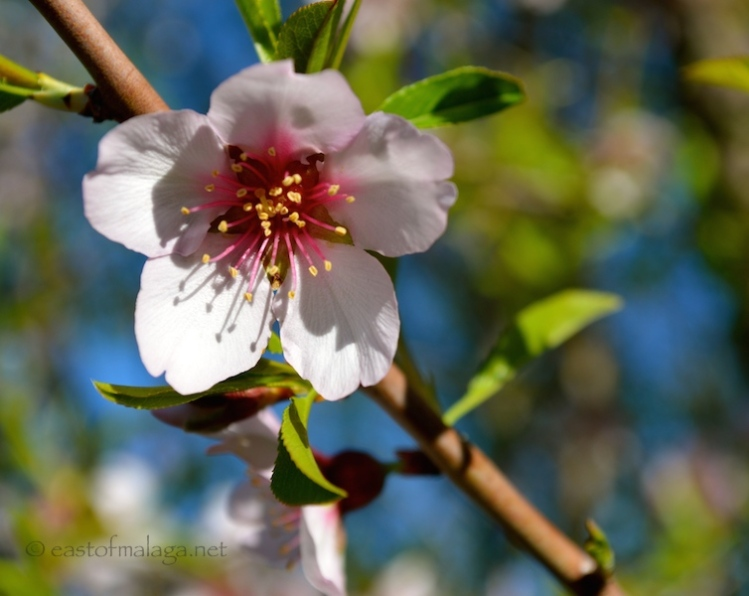 First Almond blossom